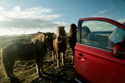 Icelandic wild horses - more friendly than wild